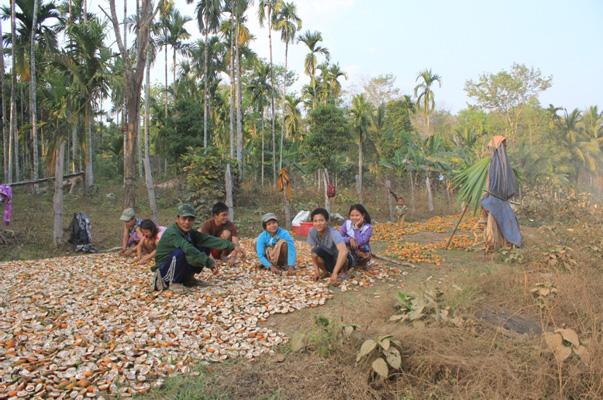 メコン・ウォッチ <ダウェイ、開発計画地の近くで栽培した檳榔(びんろう)の実を収穫する家族>